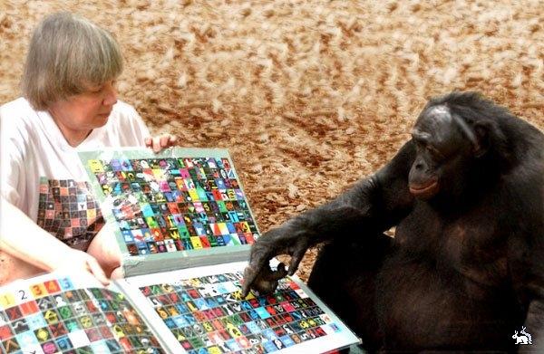 Шимпанзе и человек