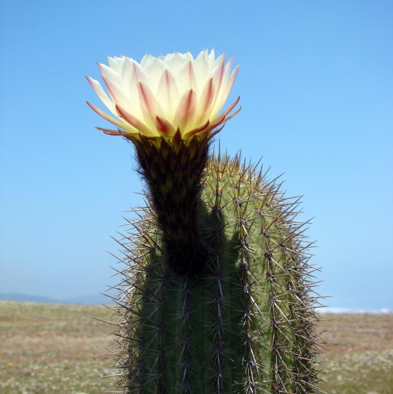 Цветущий кактус - Аризона