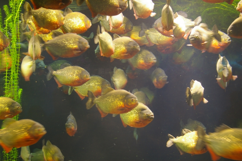 Дрессировка рыб