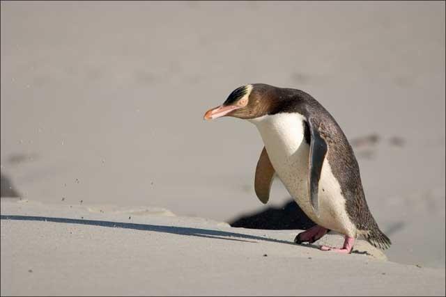 желтоглазый пингвин