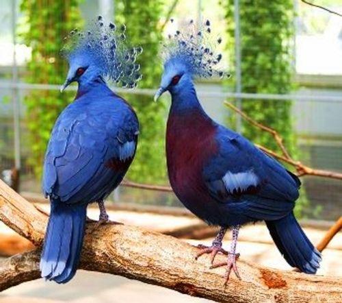 синяя райская птица Новая Гвинея