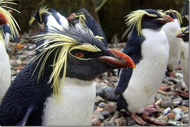 хохлатые пингвины
