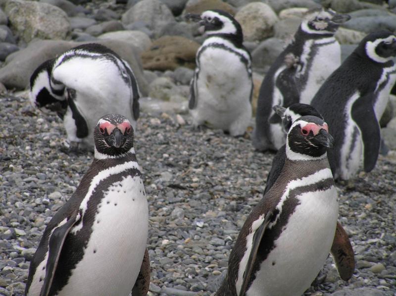 ослиные пингвины