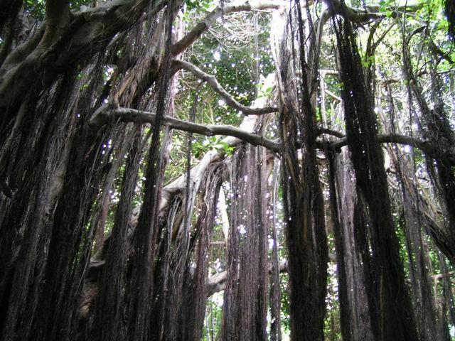фиговые деревья