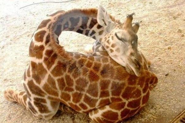 жираф спит