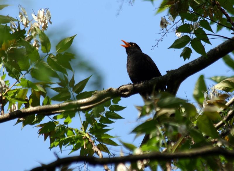 певчая птица