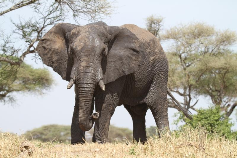 Слон в Танзании