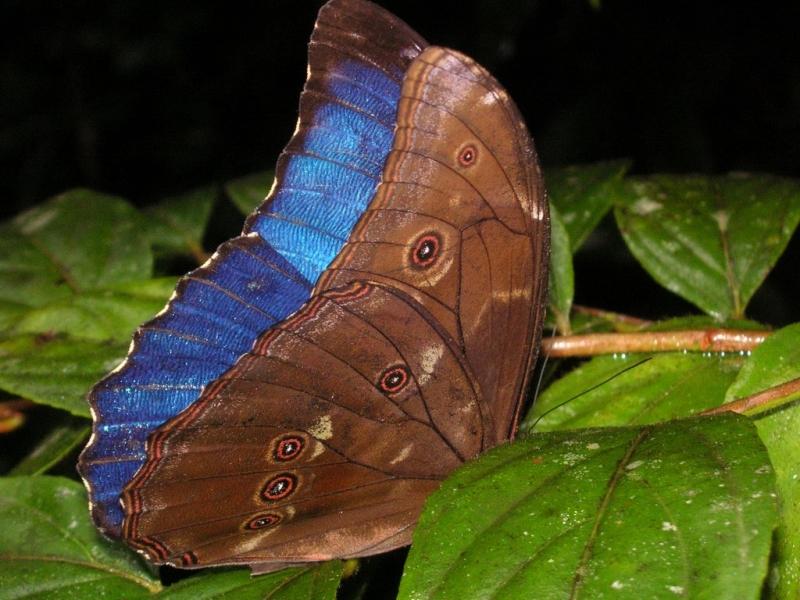 Бабочка морфо менелаус
