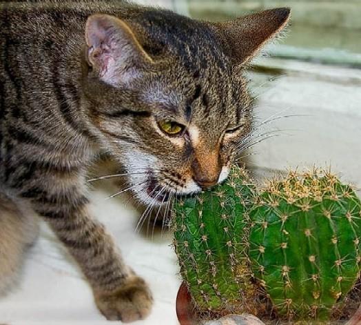 Блюда из кактуса