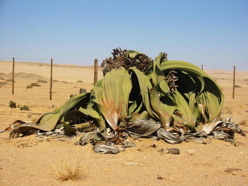Вельвичия Мирабилис пустыня Намиб