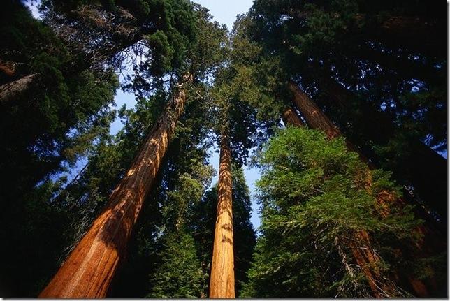 мамонтовые деревья