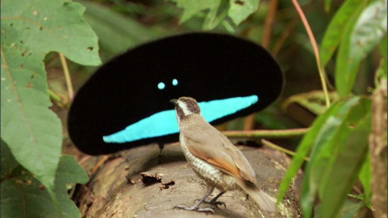 райская птица с воротником