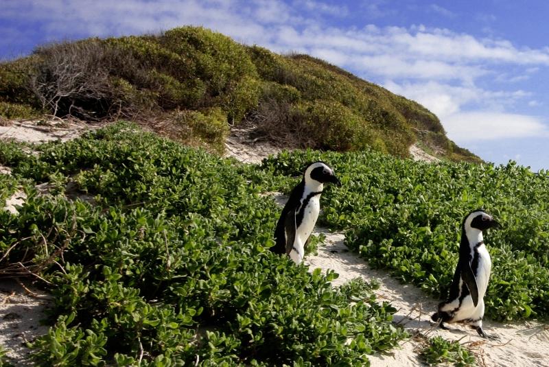пингвины на экваторе