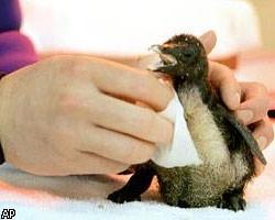 детеныш карликового пингвина
