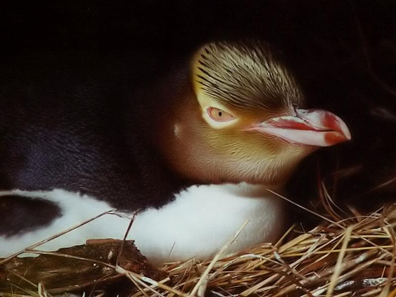 желтоглазый пингвин в гнезде