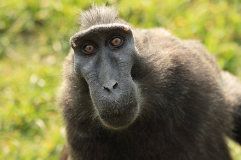 мужчина чуть красивее обезьяны