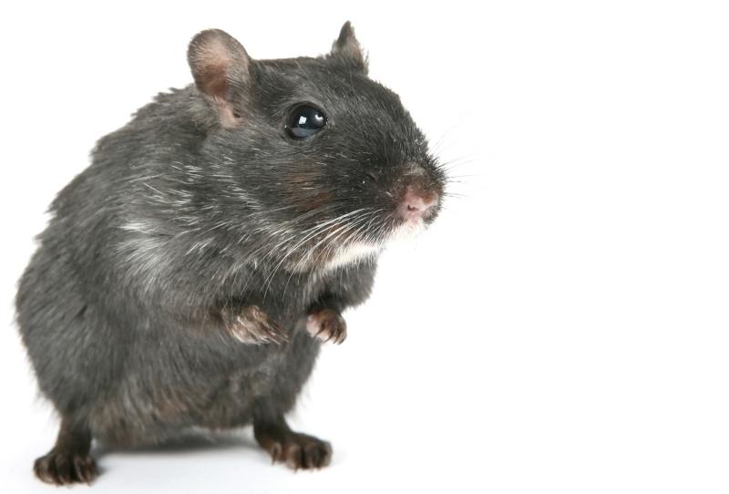 любопытная мышь