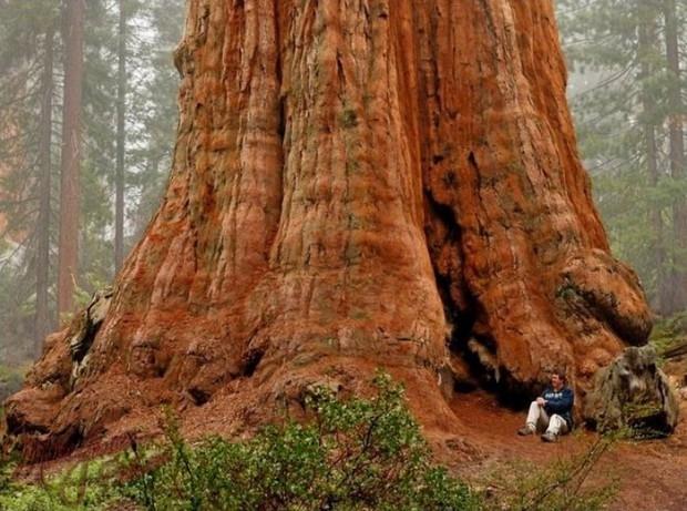 самое большое дерево